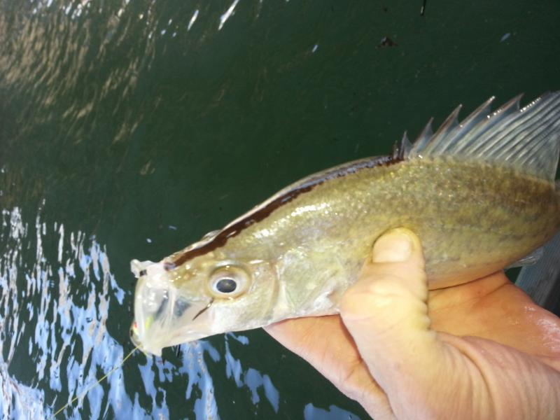 Guadlupe brown nosed crappie crappie fishing texas for Crappie fishing in texas