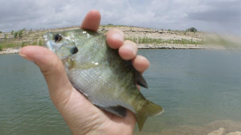 Lake travis haul bluegill sunfish texas fishing forum for Lake travis fishing report