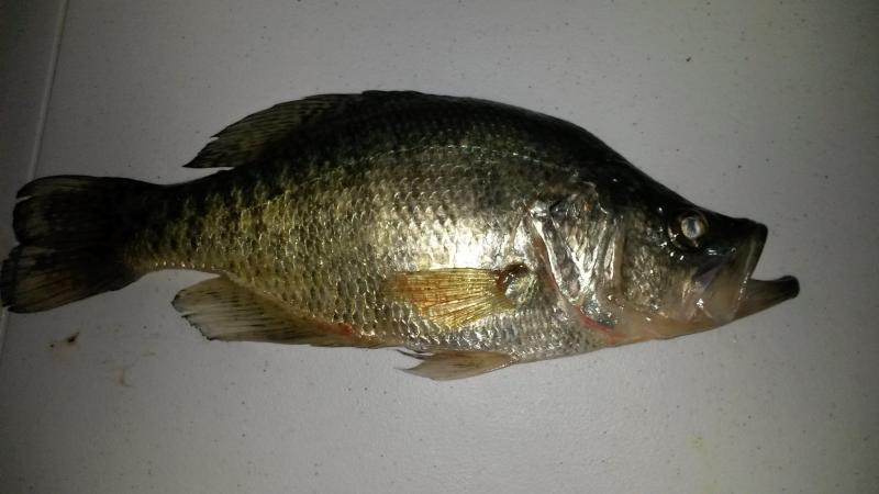 What are crappie fish and how do i catch some crappie for What is a crappie fish