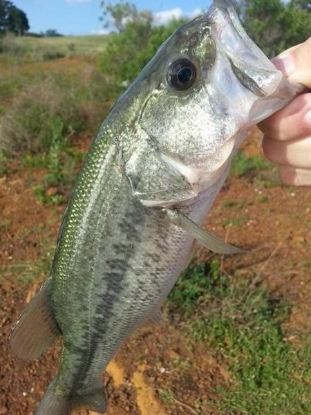Lmb on a crappie rig tonight at grapevine bank fishing for How to fish for crappie from the bank