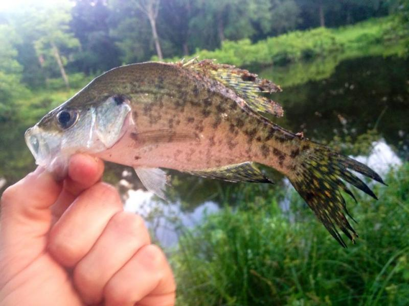 Crappie id please crappie fishing texas fishing forum for Crappie fishing texas