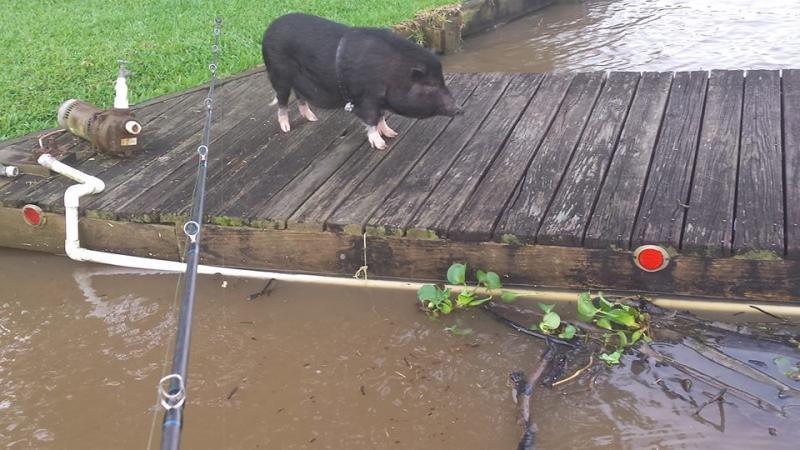Lake houston hog bass fishing texas fishing forum for Lake houston fishing
