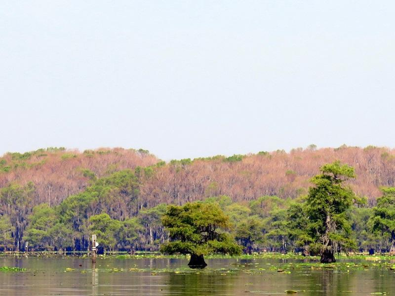 What 39 s happening to caddo lake cypress trees bass for Caddo lake fishing report