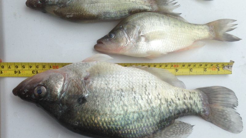 Fall creek crappie bank fishing texas fishing forum for How to fish for crappie from the bank