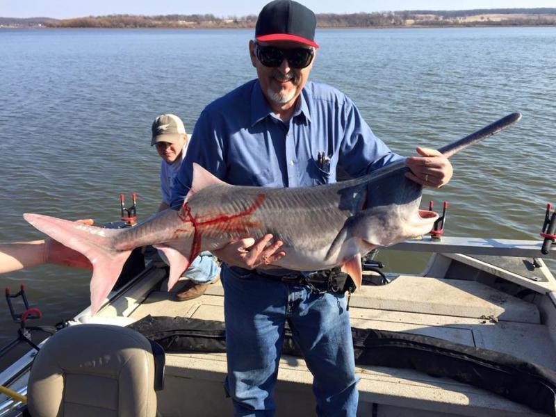 Spoonbill catfish record