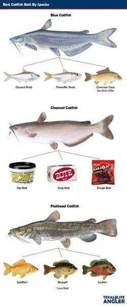 Best bait for catchin 5 to 15 lb blues on trot lines for Types of fish bait