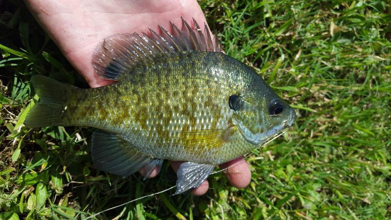 Still Trying To Figure Out All The Sunfish And Gill