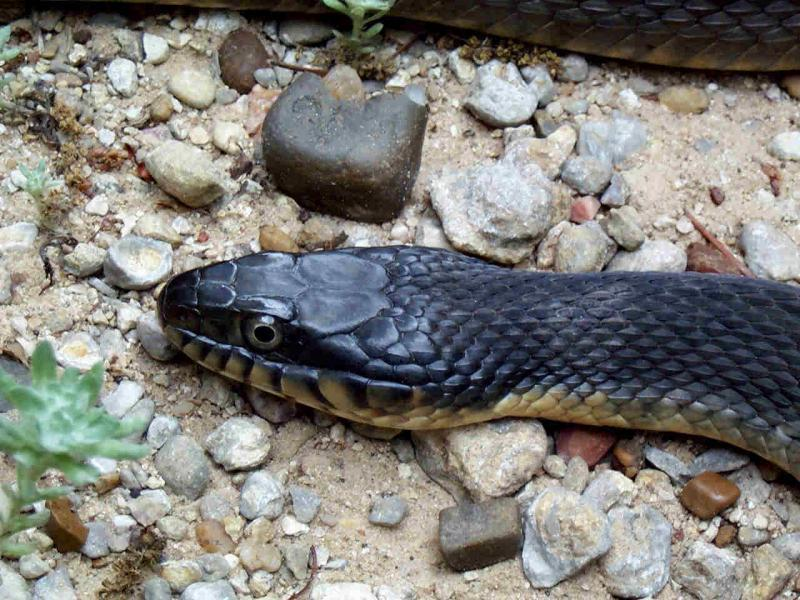Need snake id off topic texas fishing forum for Texas non game fish