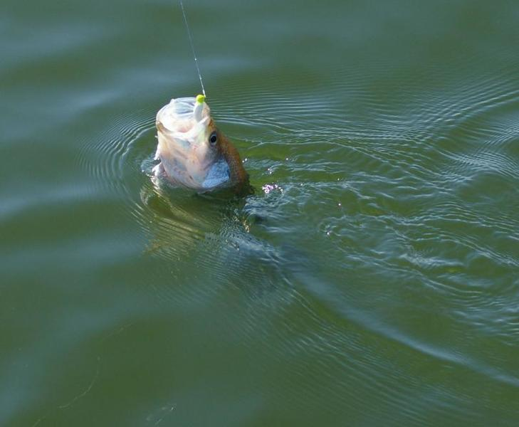 Action crappie photos videos texas fishing forum for Lake waco fishing report