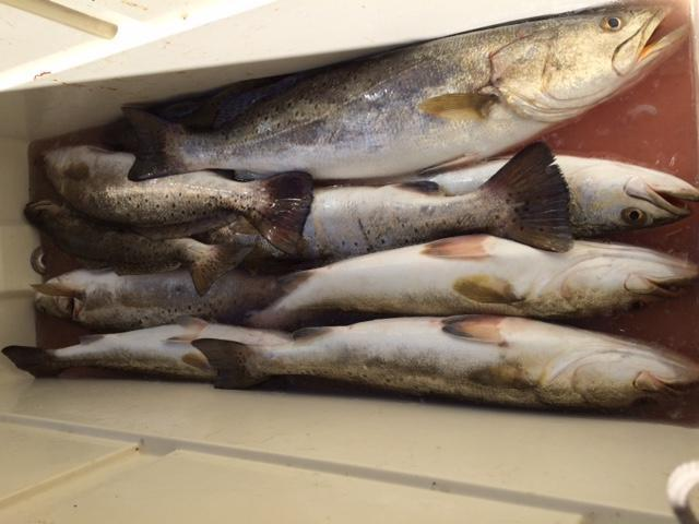 Sabine Speckled Trout Limit Before Noon Saltwater