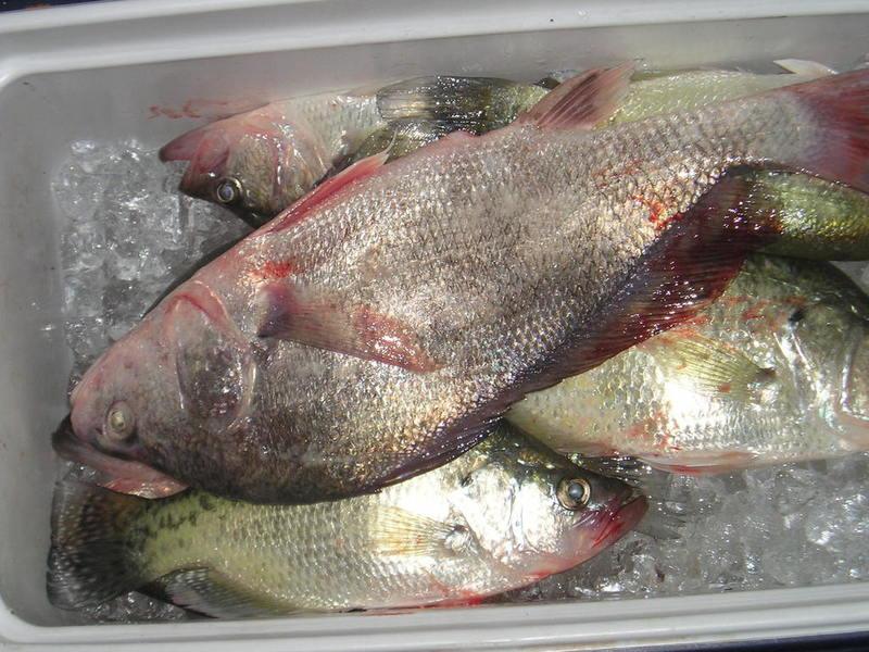 Belton crappie fishing texas fishing forum for Crappie fishing in texas