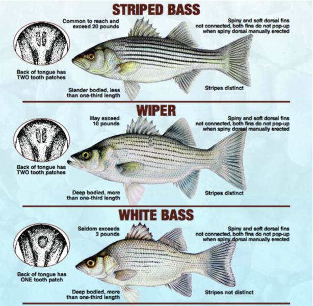 Hybrid Striper