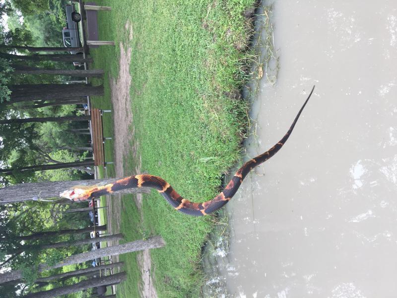Snake id photos videos texas fishing forum for Texas non game fish