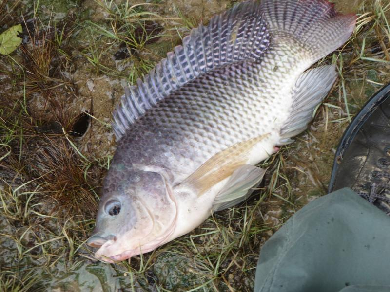 http://texasfishingforum.com/forums/pics/usergals/2017/07/full-95200-170190-2015_10_25_tilapia.jpg