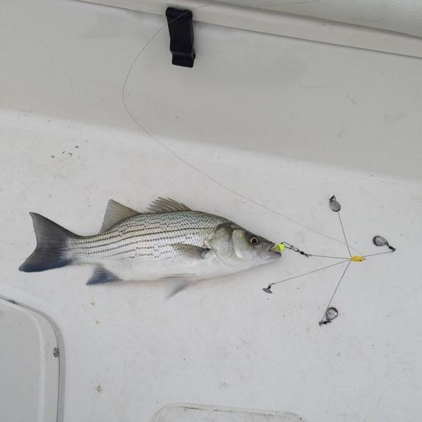 Fish identification striper hybrid or white bass for Striper fishing rigs