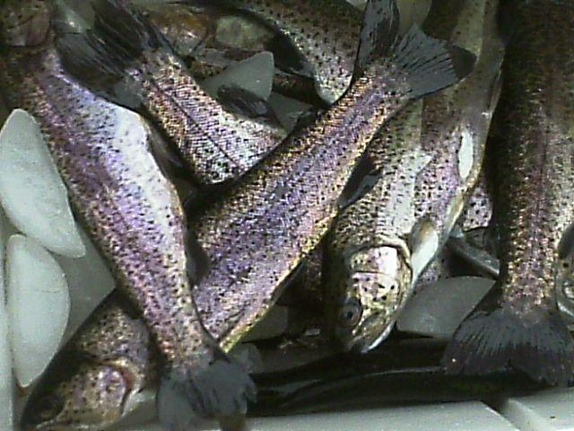 A Good Trout Stocking Report  1-11-19  - Texas Fishing Forum